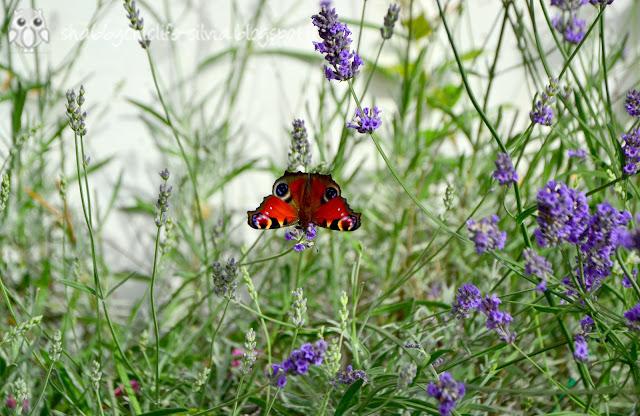farfalle e lavanda