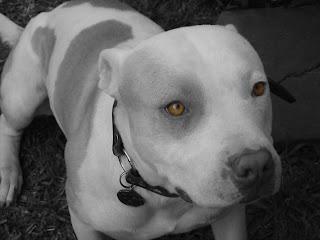 Los perros son animales de compañía, sin excepción. Esta raza también. Son los dueños irresponsables y sin escrúpulos, o simplemente inconscientes, los que pueden convertirlos en máquinas de matar...