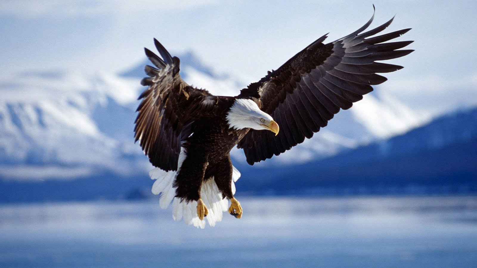 Golden Eagles Flying Wallpaper Hoe een adelaar...