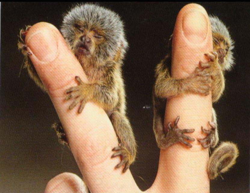 Menor primata da Terra