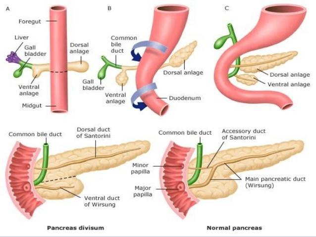 Pancreas: embriología, anatomía e histología | Se dice Médico