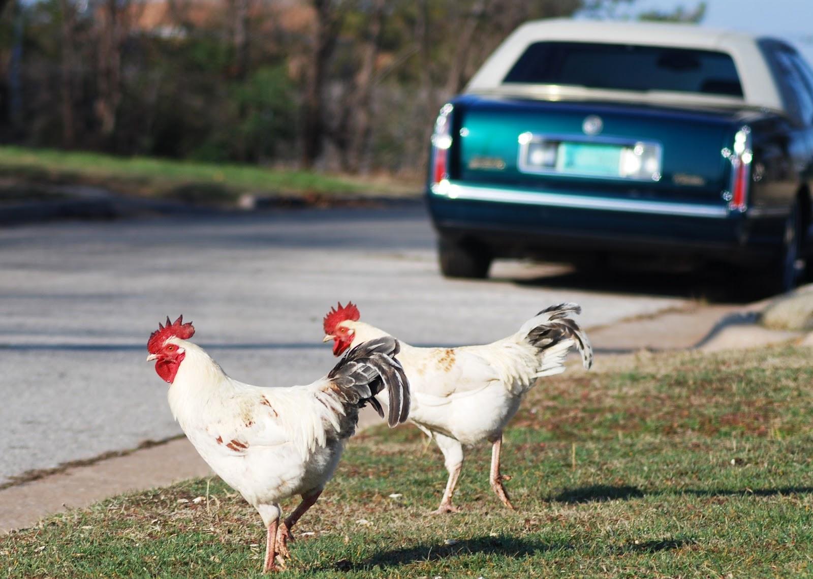 http://2.bp.blogspot.com/-19UTm20KPXg/T0FGkX6I3AI/AAAAAAAAI3Y/rCtzFfAr_ks/s1600/Urban+Chickens.jpg
