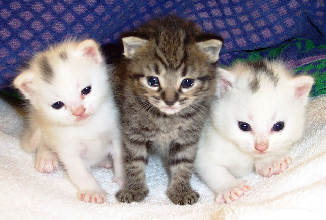 Three Cute Pussy Cats Kittens 30