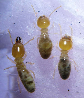 Soldier and workers of Odontotermes sp