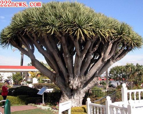 8000歲龍血樹