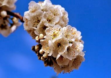 Flor de prunera