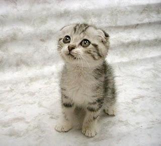 harga kucing scotish fold,jual kucing scottish fold murah,beli kucing scottish fold,kucing scottish fold untuk dijual,sphynx,persia umur 3 bulan,bengal,