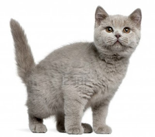 British+Shorthair.jpg (320×282)