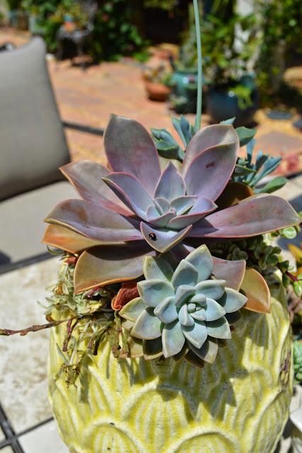 succulent, succulents, cactus, cacti, garden, gardening, echeveria, graptoveria, ladybug, planter, garden planter, succulent planter, nature