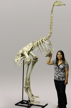 Esqueleto da Ave-Elefante