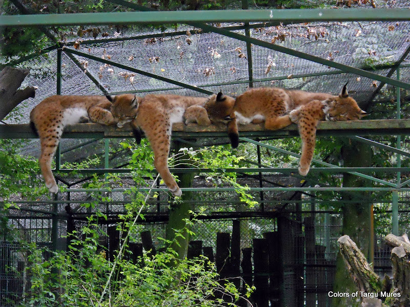 Three lynx kittens sleeping on a wood in captivity (Targu Mures ZOO). Cei trei rasi. Gradina Zoologica Tirgu Mures.