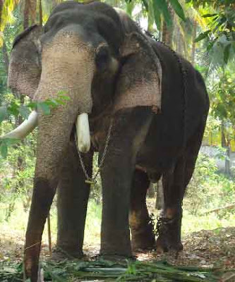Thiruvambadi Ramabhadran|Thiruvambadi elephents|Kerala tourism|Thrissur tourism|eye images