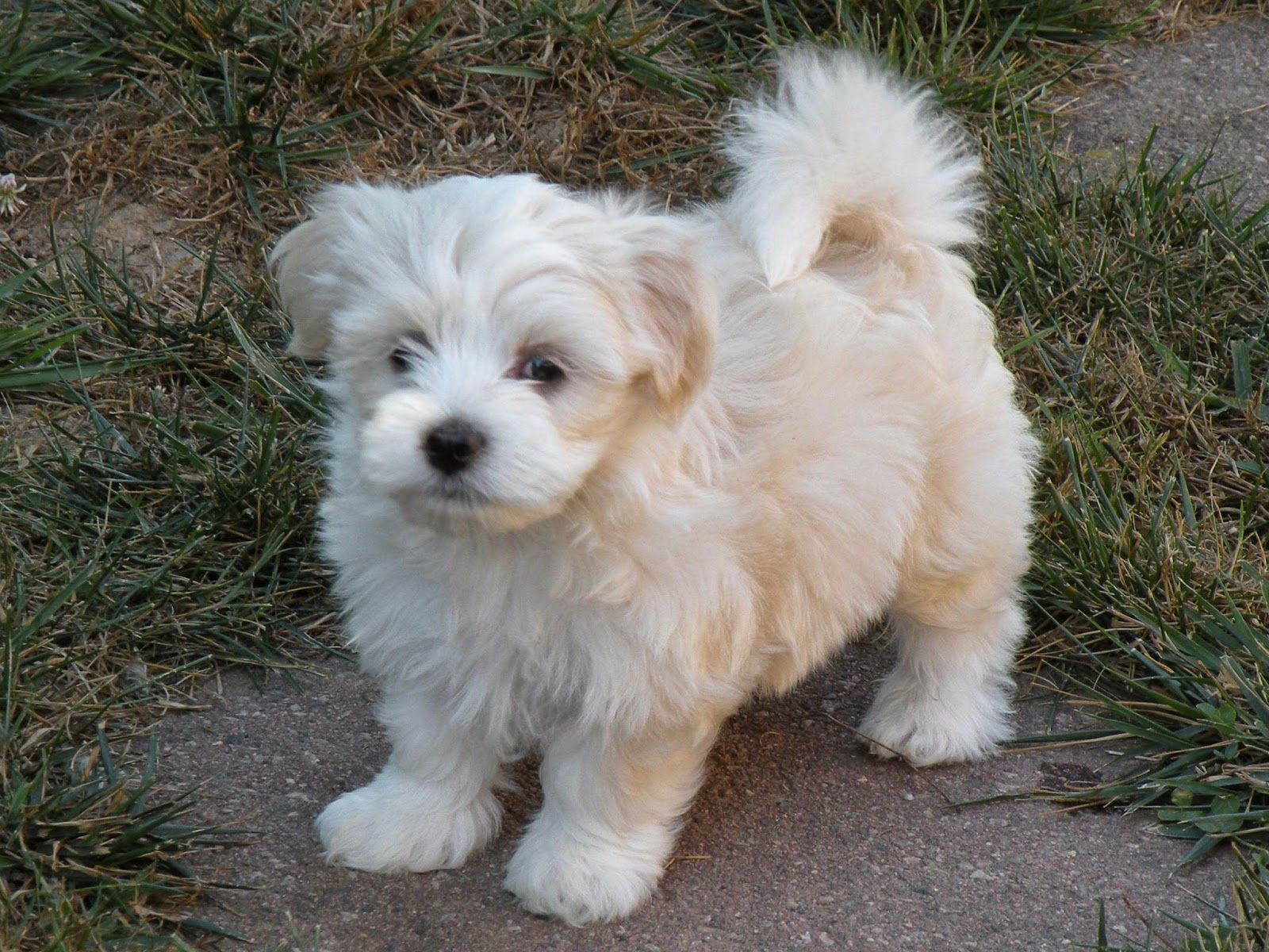 Rules of the Jungle: Havanese dogs: The Insular Breed