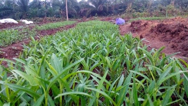 Budidaya Kangkung jurusan Agribisnis Tanaman Pangan dan Hortikultura