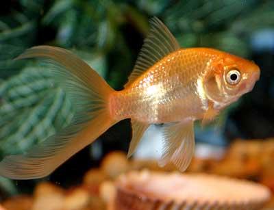 Goldfish 6