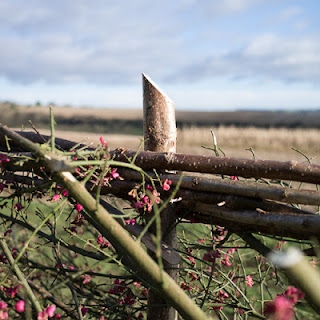 New hedge near Corhampton, #2 © Graham Dew 2012