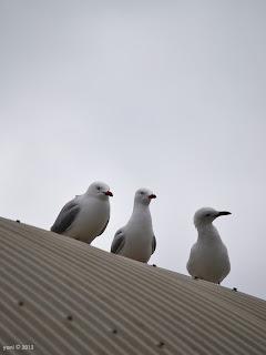 gull trio
