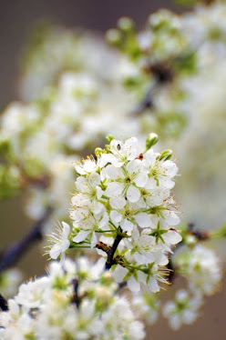 Creek Plum, Prunus rivularis