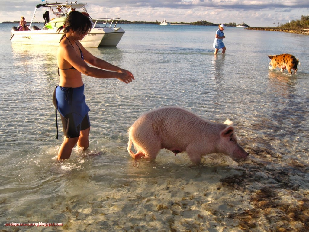 Đảo heo Big Major Spot – Bahamas 10