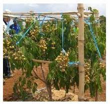 pemeliharaan tanaman kelengkeng