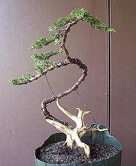 Pleasant Ornamental Plant Training Your Bonsai Tree Wiring 101 Mecadwellnesstrialsorg