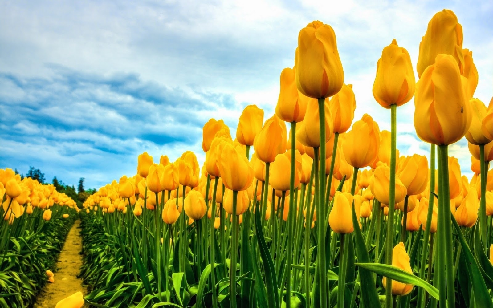 hd hintergrundbilder gelbe tulpen sch nen blumen gelbe tulpe kostenlos natur fr hling. Black Bedroom Furniture Sets. Home Design Ideas