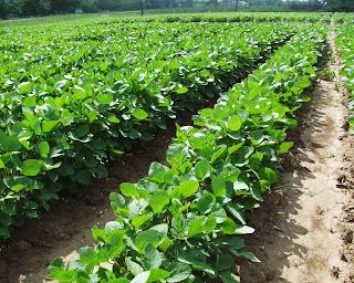Soybean_farm
