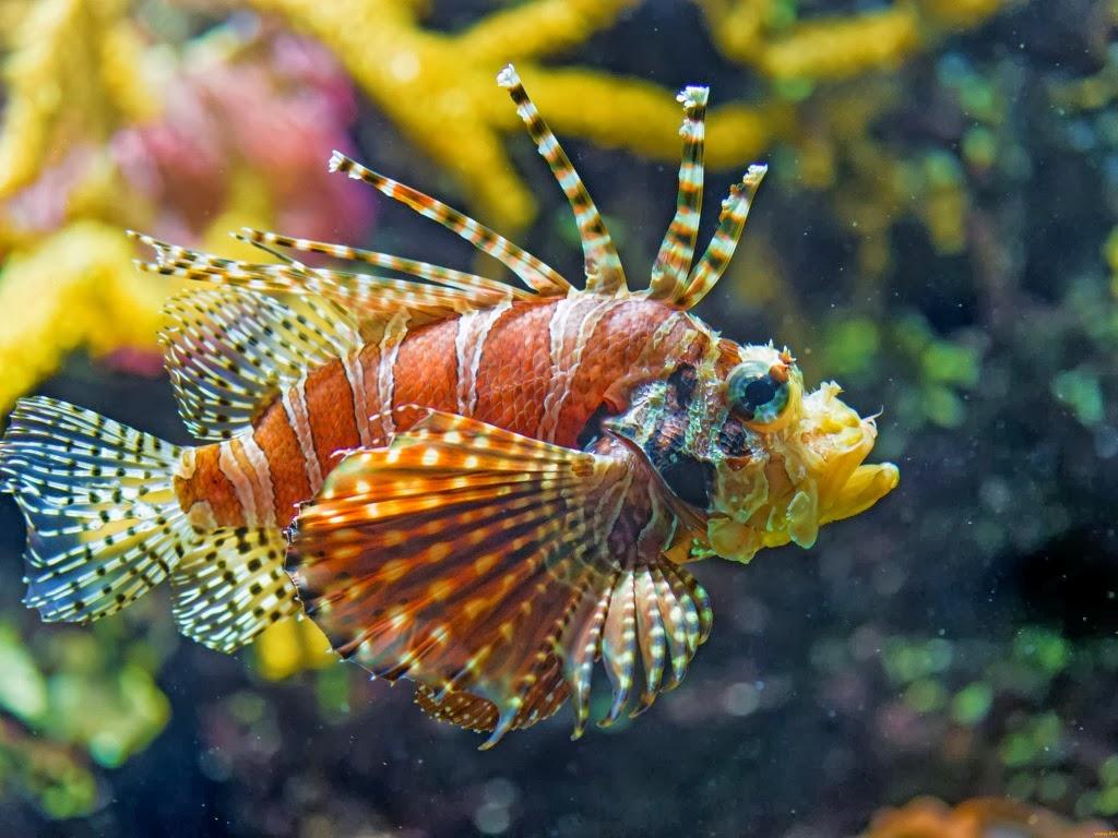 "<img src=""http://2.bp.blogspot.com/-1CJDouPe8Us/UtmSIm-Xy5I/AAAAAAAAIqg/jME7KlDUrA4/s1600/animal-wallpapers-lionfish.jpeg"" alt=""lion fish"" />"