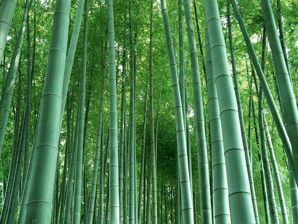 http://2.bp.blogspot.com/-1CVQ_tZu4vQ/TuRUPVEKKJI/AAAAAAAAAZE/lYjmcN5NfCU/s1600/4017-bamboo-deep.jpg