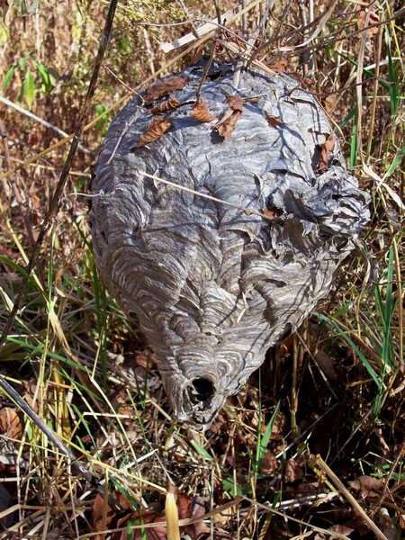 Ground Hornets Nest Look Like http://rooster613.blogspot.com/2012/10/why-was-this-hornets-nest-so-close-to.html