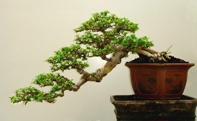 Bonsai tecnica y cuidados basicos verde jard n - Cuidado del bonsai ...
