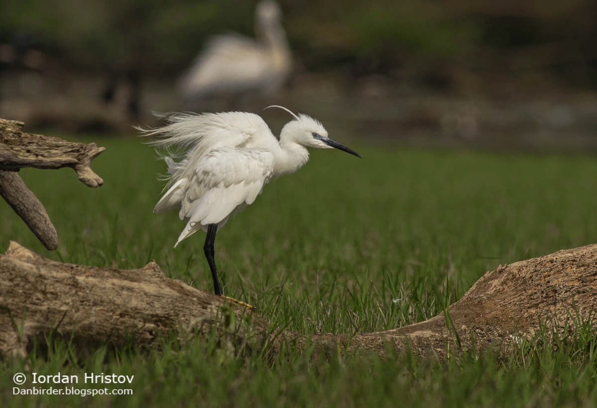 Little Egret, Copyright Iordan Hristov