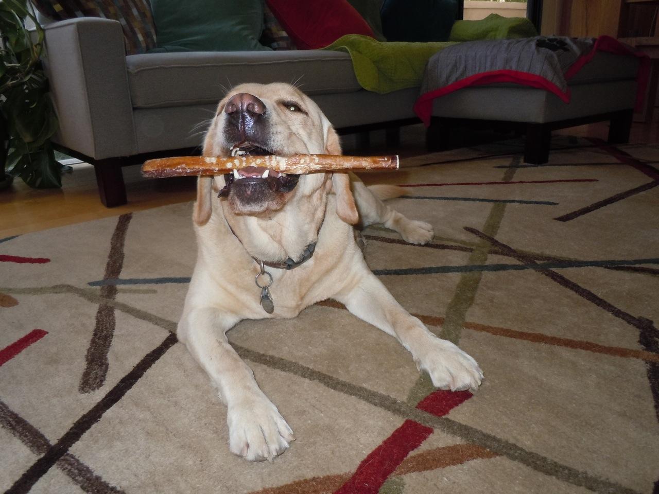 labrador cooper loves bully sticks. Black Bedroom Furniture Sets. Home Design Ideas