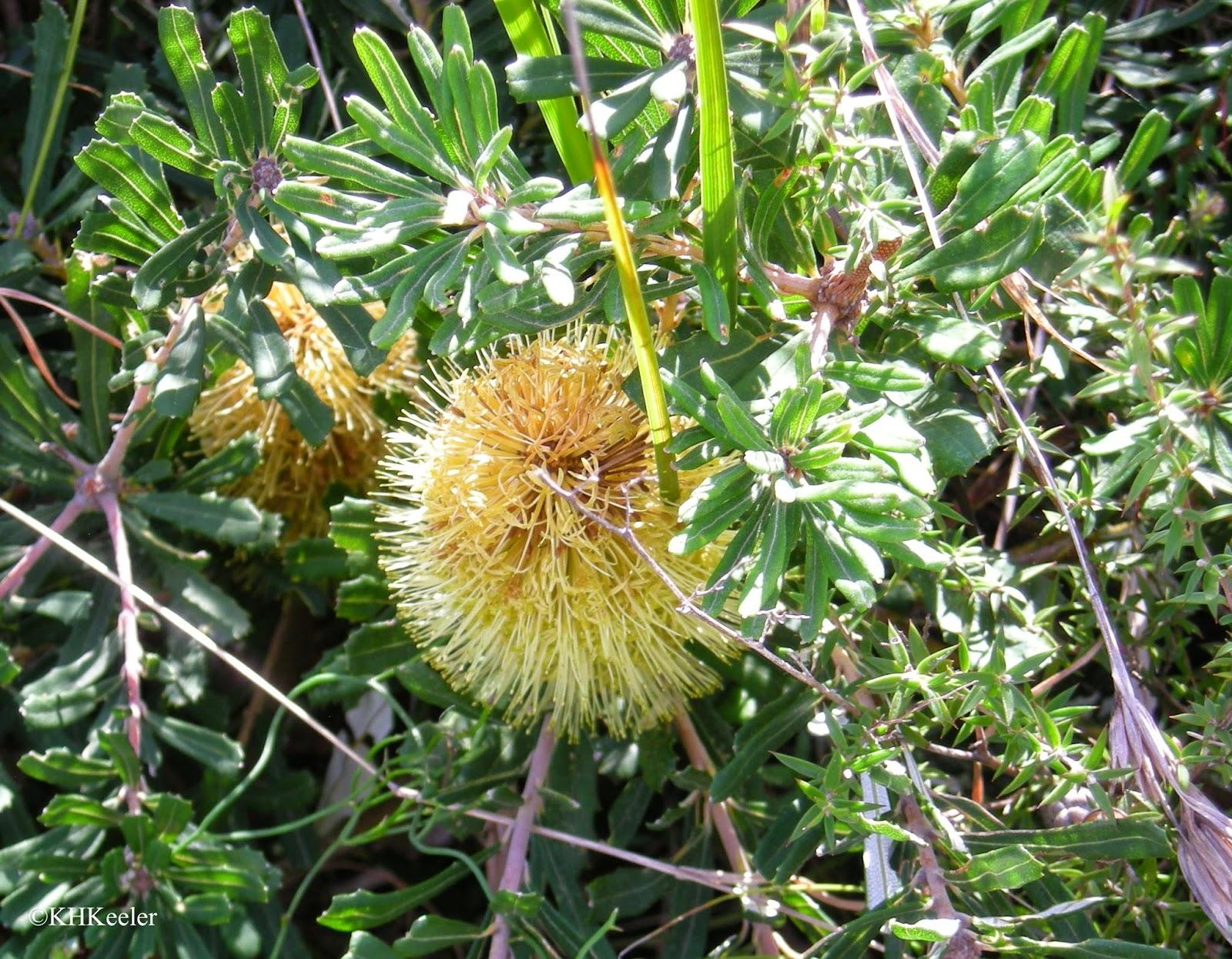 Banksia, Victoria, Australia