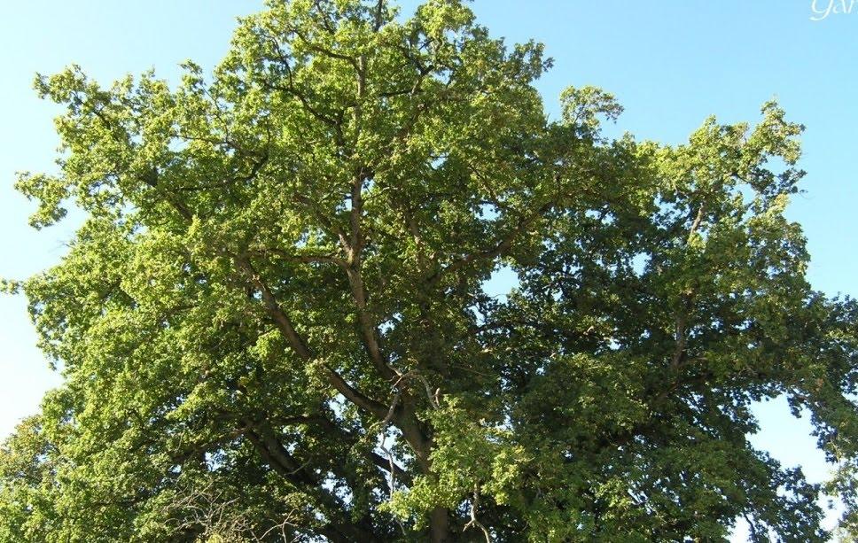 Chêne à Grosrouvre