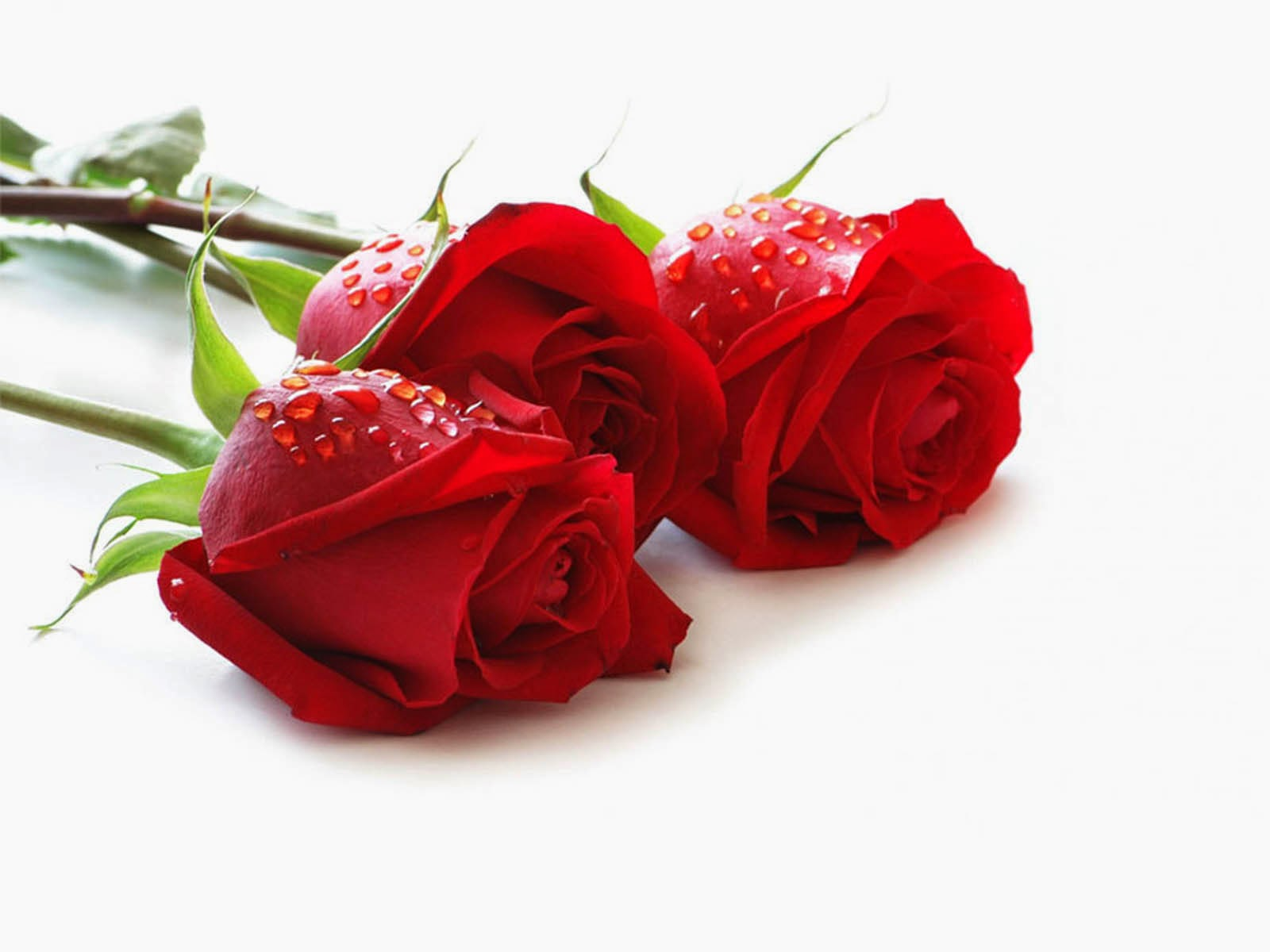 beautiful roses wallpapers for mobile | animaxwallpaper