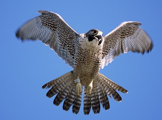 Falcon flying with open beak