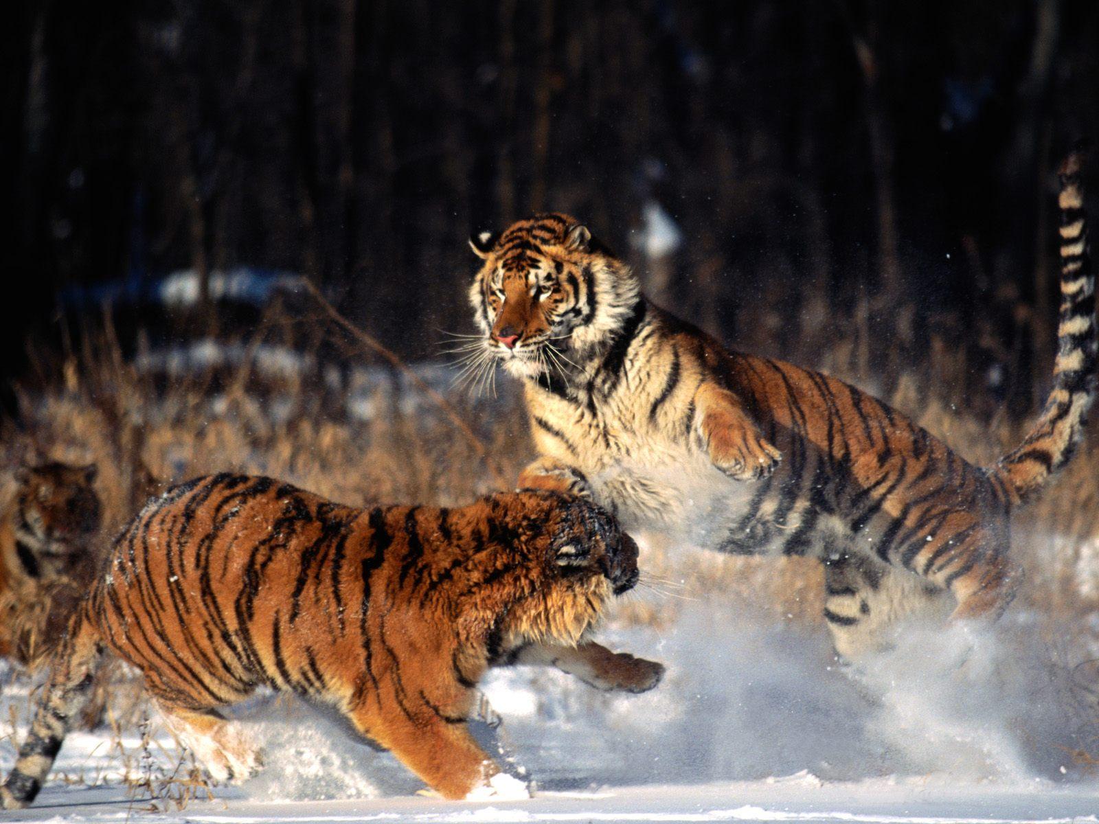 tiger wild snow - photo #36