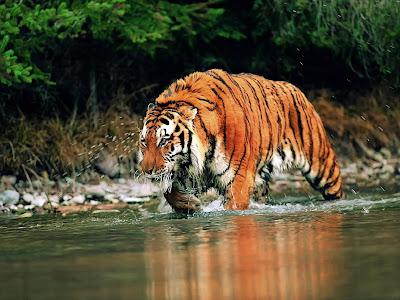 Siberian Tiger Vs Bear Siberian crossing river