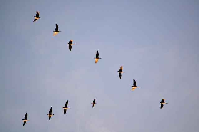photo of flock of Canadian Geese at sunset by Nancy Zavada