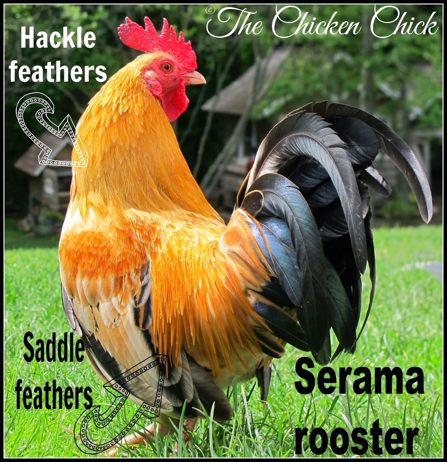 Funny Looking Chicken Breeds