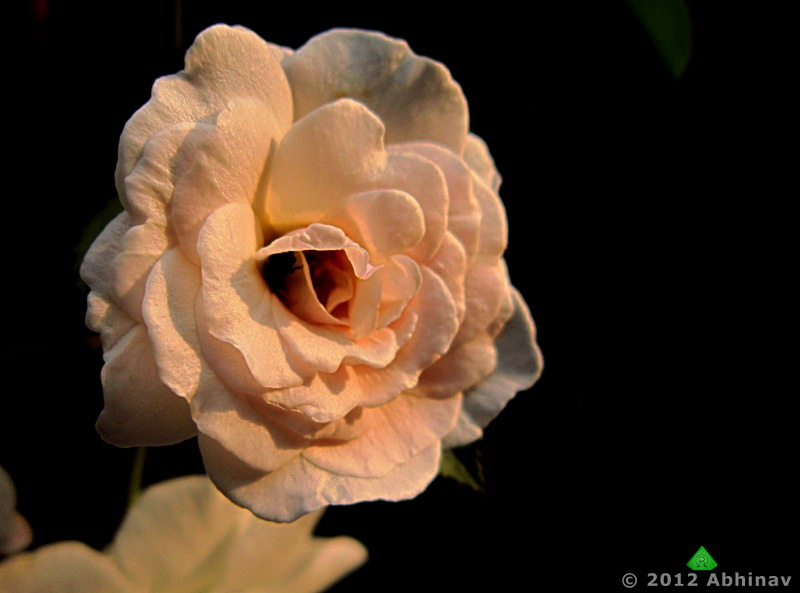 Photographing Roses