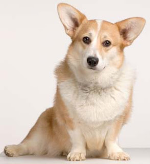 pembroke welsh corgi dogs breed info pets animal domestic hound