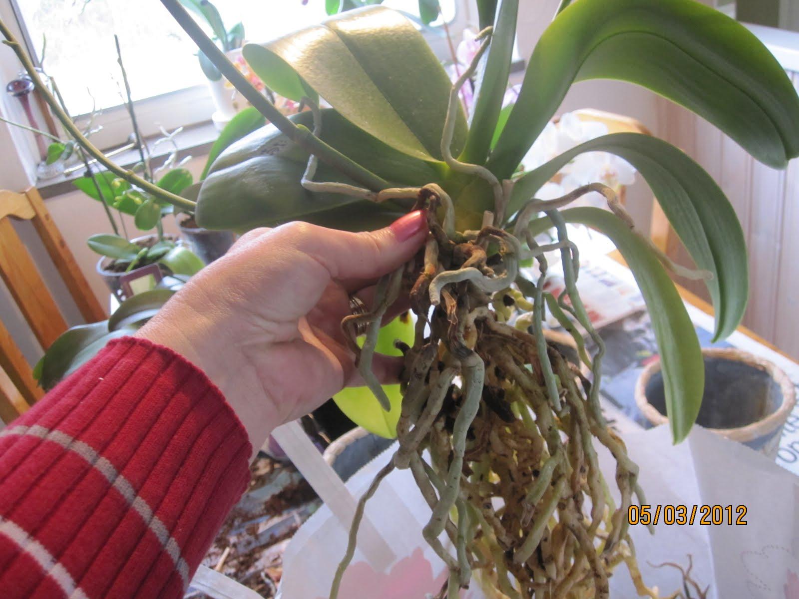 Как правильно сажать орхидею