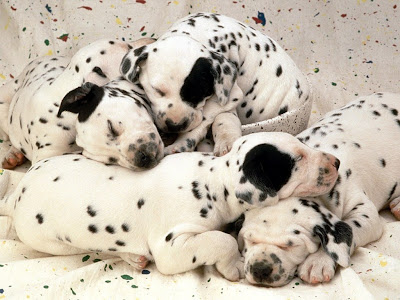 Dalmatian Puppies Pictures