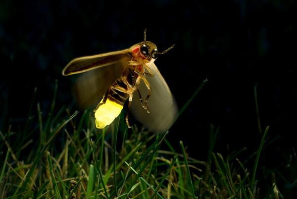 Curiosidades del reino animal: Insectos luminiscentes: la luciérnaga