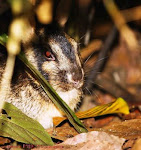 Arnab belang Sumatera- sumatran striped rabbit