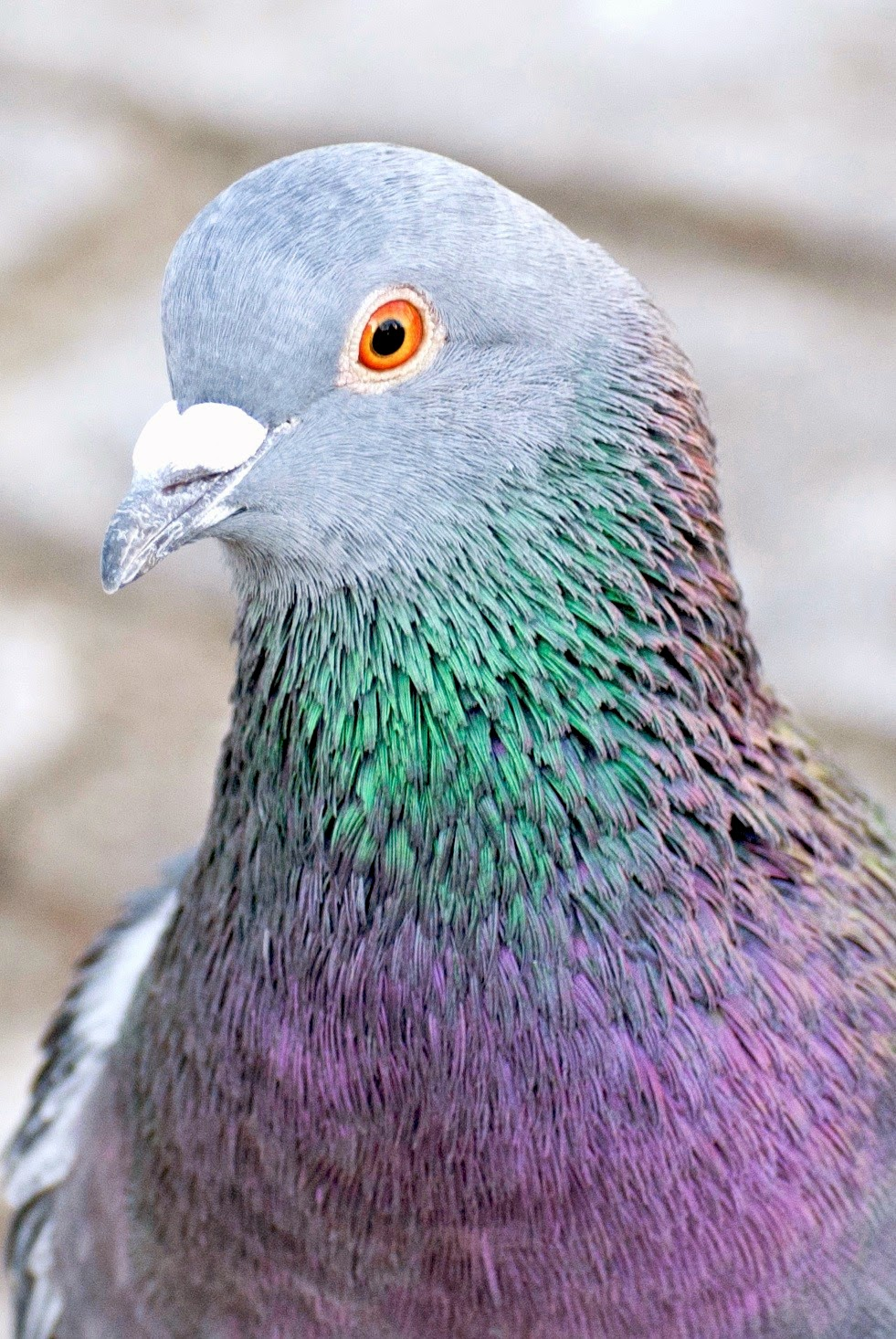 essay on pigeons by richard kell Pigeons by richard kell if this is your first visit, be sure to check out the faq by clicking the link above you may have to register before you can post: click the register link above to proceed.