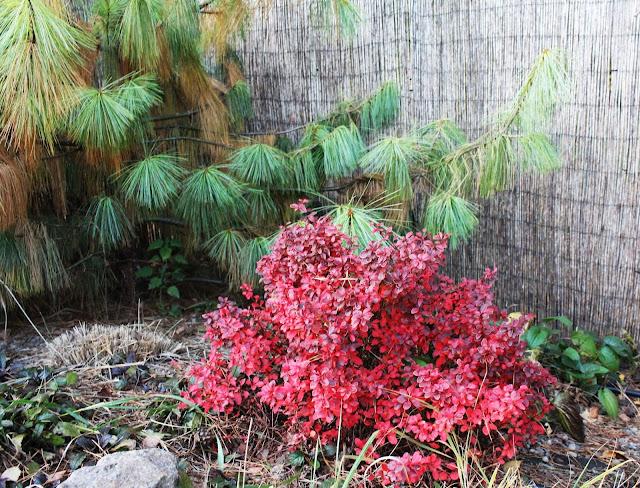 jesiene kolory w ogrodzie, jakie rośliny wyglądaja najpiękniej jesienią,kolor czerwony w ogrodzie,piękny ogród jesienią,rabata w kolorze czerwonym, czerwone rośliny, któe rośliny zmieniają kolor jesienią na jesień,porady inspiracje ogrodowe,berberys