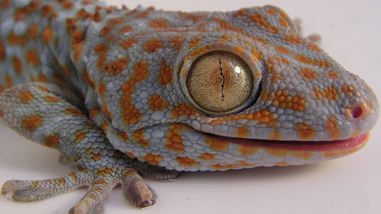 Lizard HD Wallpaper 1